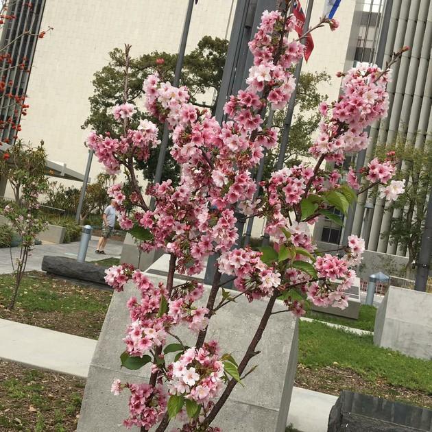 ロサンゼルスで日本の桜が見られます【アメリカ】
