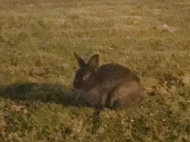 野生のウサギに会いたいならリッチモンドへ【カナダ・バンクーバー】